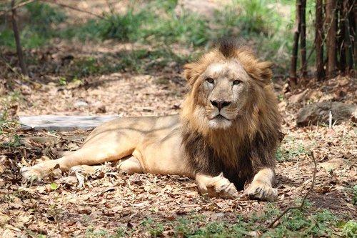 leo  nature  wild