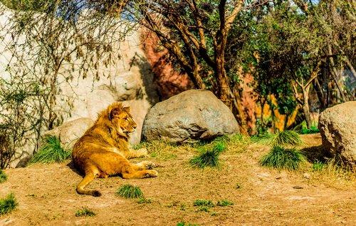 leon  predator  wild