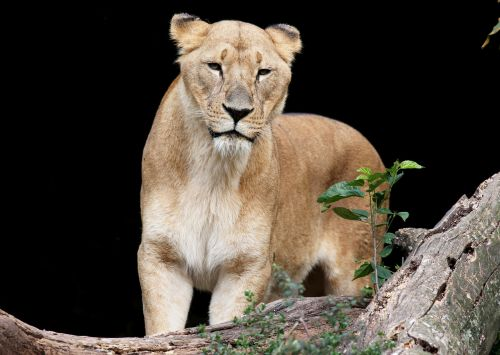 leone female animal