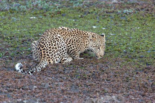leopard animal predator