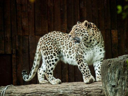 leopard fauna feline