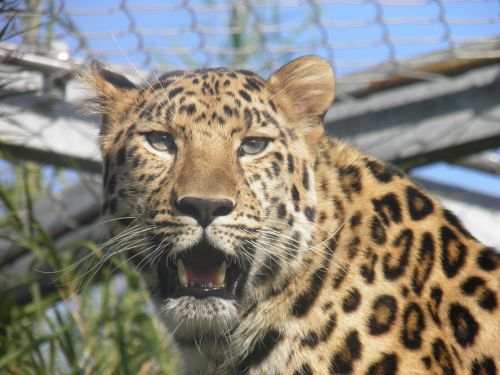 leopard panther zoo