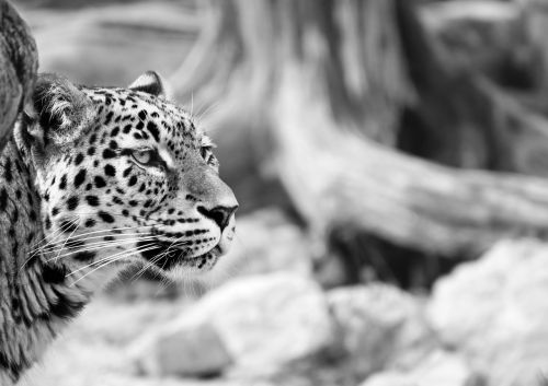 leopard persian leopard black and white