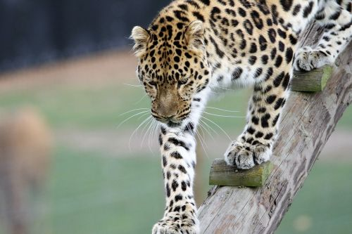 leopard big cat animal