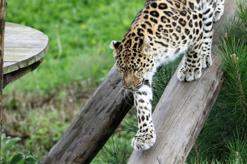 leopard big cat spots