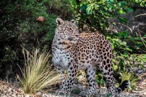 leopard persian leopard portrait