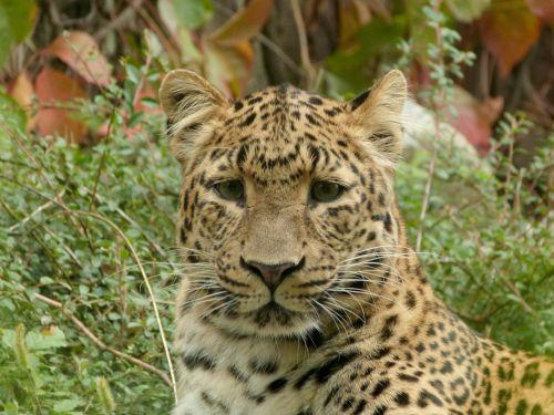 leopard chinese leopard big cat
