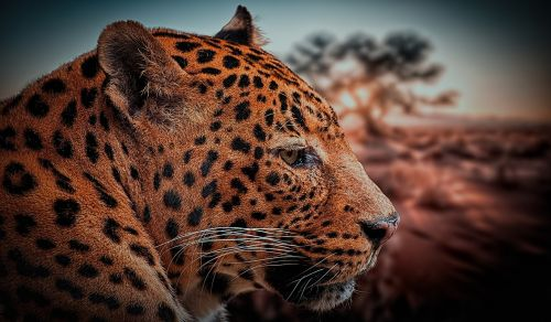 leopard animal nature