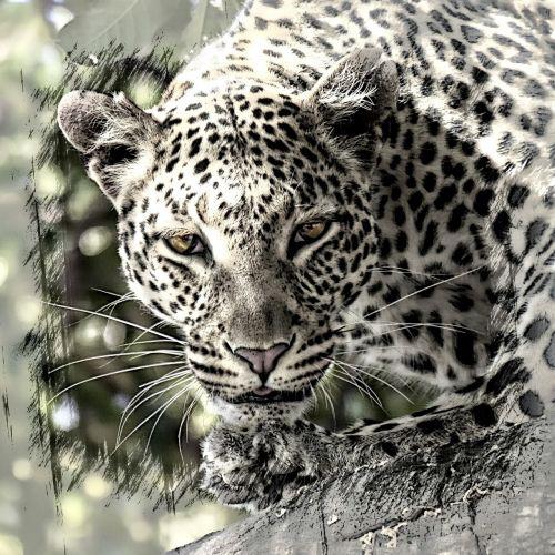 leopard big cat africa