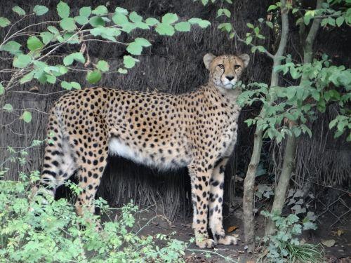 leopard zoo task