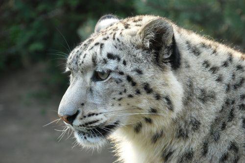 leopard snow leopard tiger