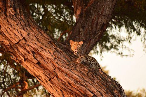 leopard tree botswana