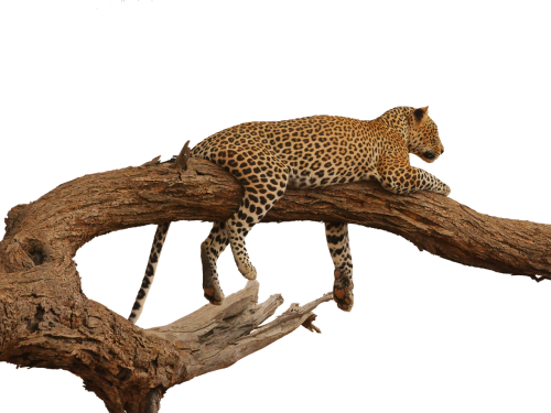 leopard acacia overview