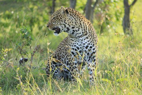 leopard masai mara
