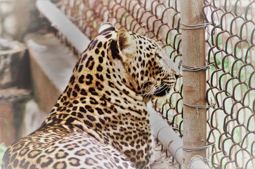 leopard panthera paradus animal