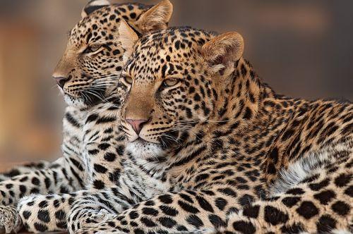 leopard cub rosettes