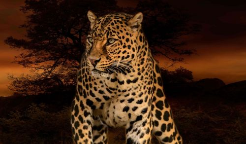 leopard hunter predator