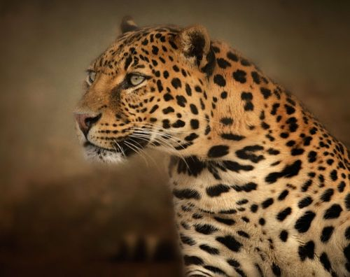 leopard portrait eyes