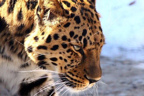 leopard  the far eastern leopard  predator