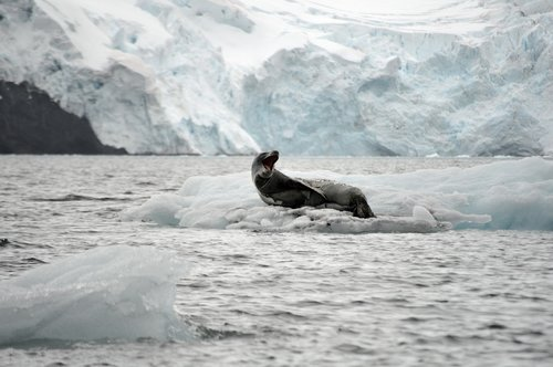 leopard  leopard seal  ice