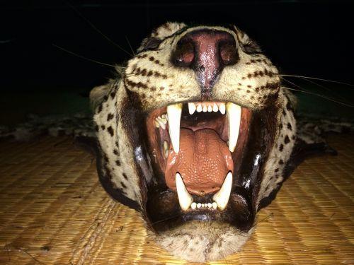 leopard roaring teeth