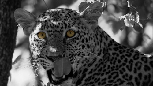 leopard cat panthera pardus