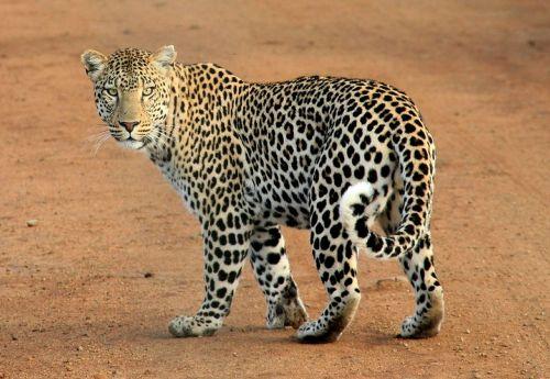 leopard leopard spots animal