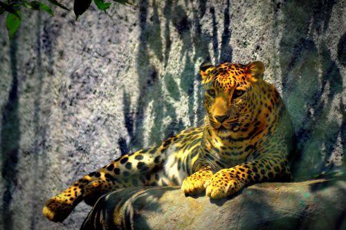 leopard cheetah attitude