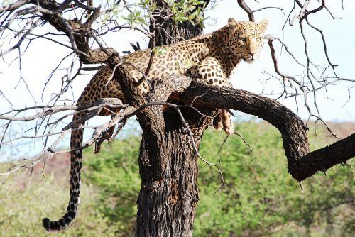 leopard wild free