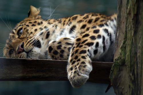 leopardas,katė,plėšrūnai,Wildcat,nuobodulys,paw,Uždaryti