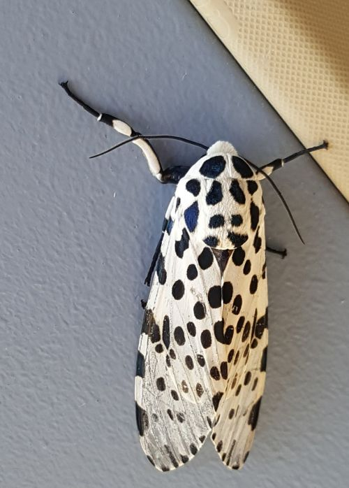 leopard moth bug insect