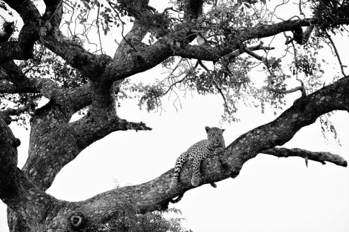 leopard on tree black white recording attention