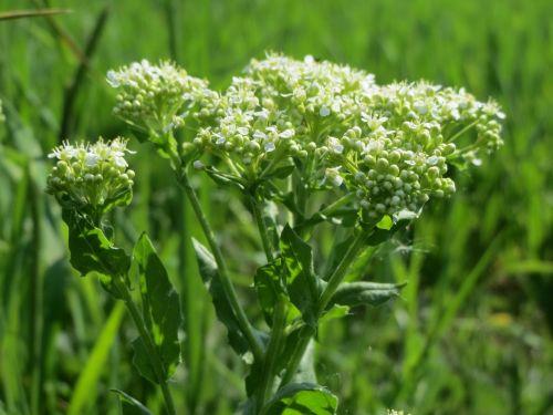 lepidium draba whitetop hoary cress