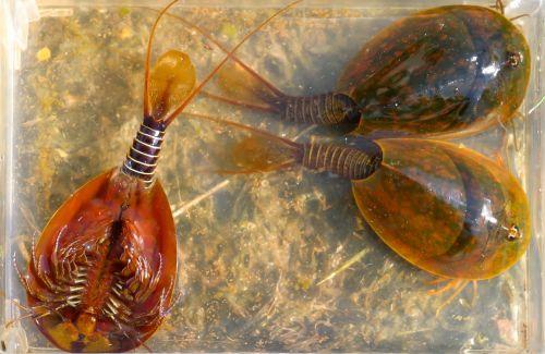 lepidurus apus lake shore crustacean