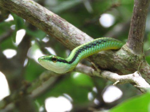 leptophis green snake vine snake