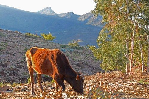 lesotho  malealea  cow