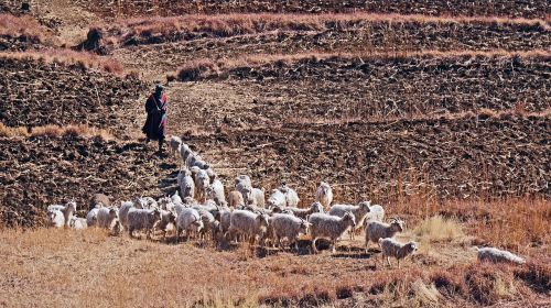 lesotho goats agriculture