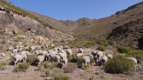 lesotho goats landscape