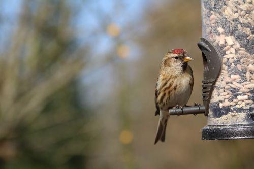 lesser redpoll redpoll garden bird