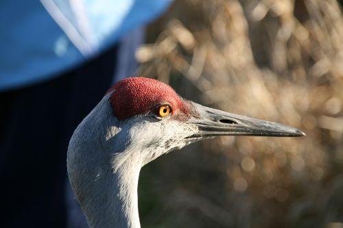 lesser sandhill crane head beak