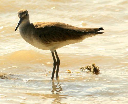 lesser yellowlegs bird wading