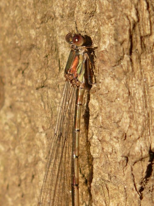 lestes viridis dragonfly insect