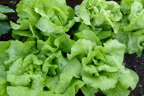 lettuce salad leaf lettuce