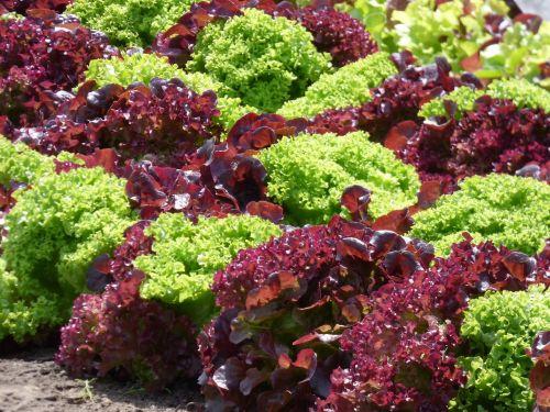lettuce red lettuce green lettuce