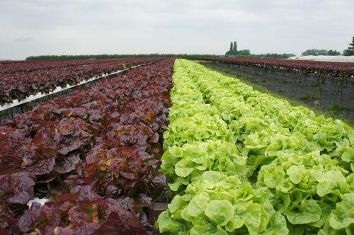 lettuce red lettuce horticulture