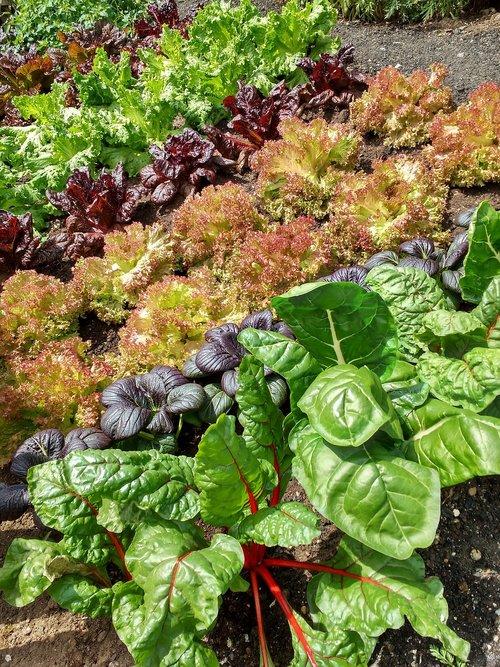 lettuce  salad  food