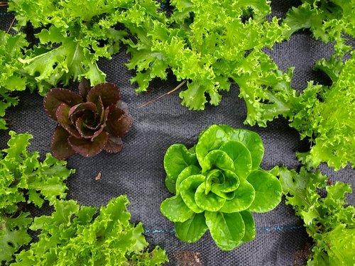 lettuce  gardening  garden