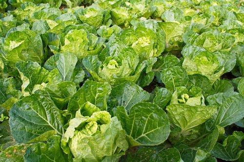lettuce  vegetable  farm