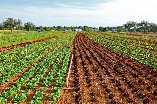 lettuce field cultivation vegetable