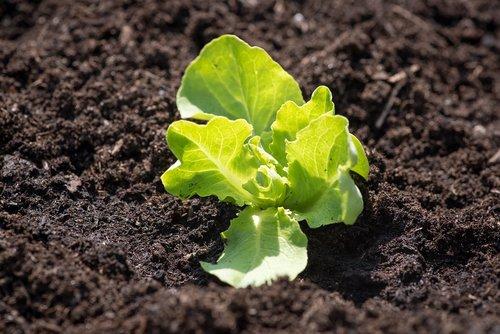 lettuce seedling  green  fresh